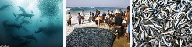 The Greatest Shoal on Earth - The Sardine Run