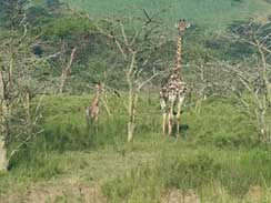 baby Giraffe and mother at Rain Farm Lodge