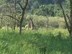 Baby Giraffe stands at Rain Farm Lodge, Ballito