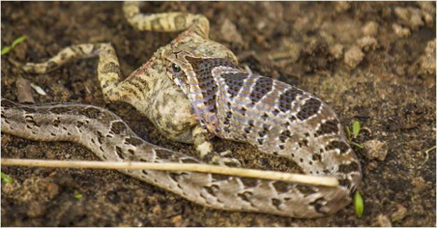 Snake Venoms, Snake Bites