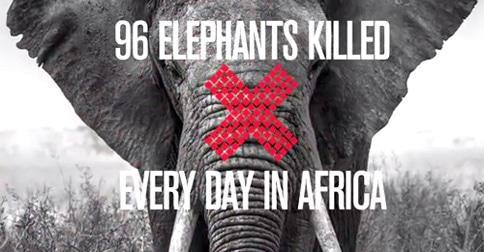 96 Elephants killed daily