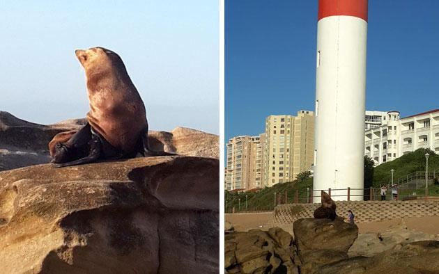 Umhlanga UIP cares for wild seal