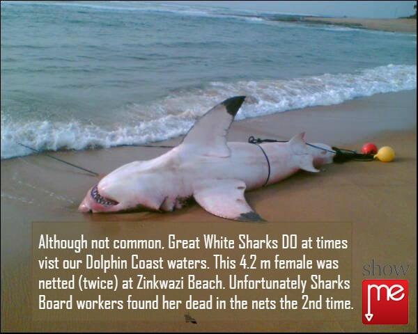 Great White Shark Ballito