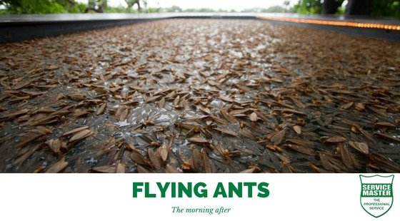 Flying Ants Service Master Pest Control Services East London