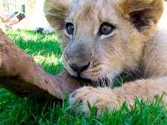 young-lion-chewing-on-a-sti