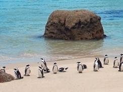 Penguins on Boulders Beach, Simon's Town, Cape Town