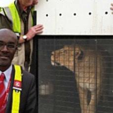 Abused circus lionesses arrive at their new SA home
