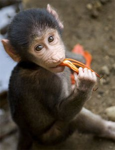 'fast food outlet' for baboons