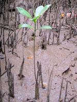 Growing Mangrove Seed