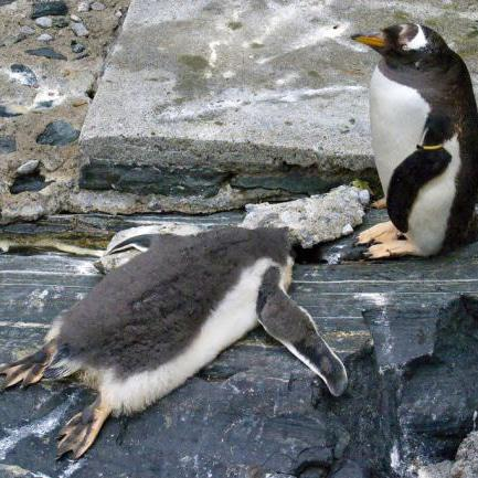 These penguins in Norway are in danger of overheating due to hotter than usual temperatures