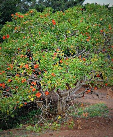 Indigenous Coral Tree