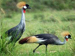 Gonubie-Nature-Reserve-Grey-Crowned-Cranes[1]
