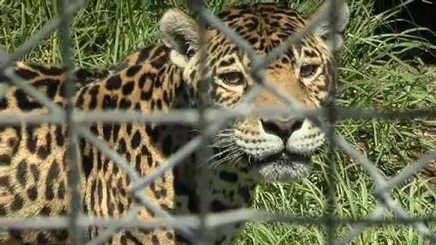 East_London_Zoo_Leopard cropped