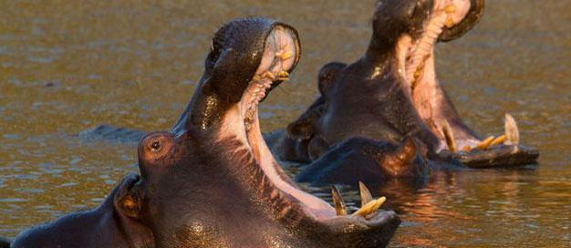 Hippos Mpongo Park cropped