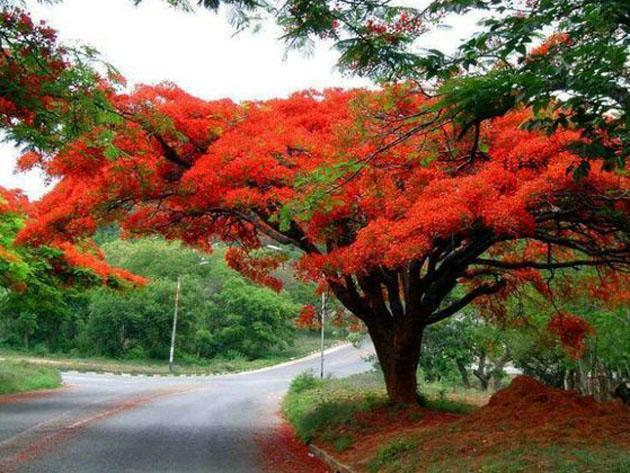 Coral Tree also known as the 'Flamboyant'