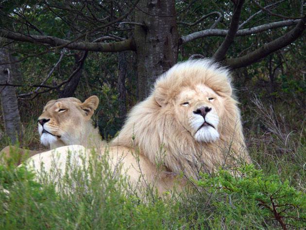 White Lions at Inkwenkwezi - Terry Wilson