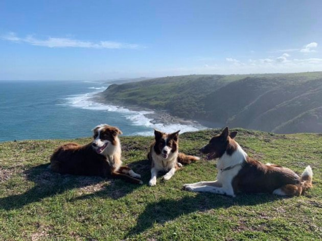 Stefan's 3 collies at Morgan Bay