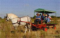 Percheron cart horses