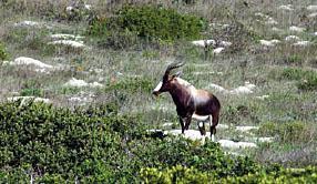 A magnificent bontebok ram