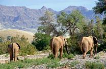 A herd of desert elephants travel through the dry Hoariseb riverbed