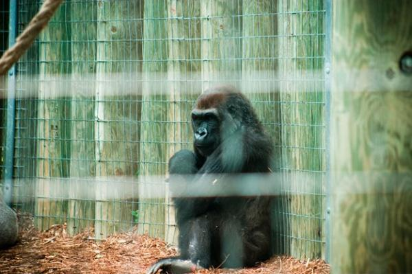 keeping animals in zoos good or bad Transcript of zoos: are they good or bad zoos: pros and cons by:  debatesjugglecom/should-we-ban-the-keeping-od-animals-in-zoos link.