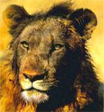 A blood-soaked lion takes a break from a wildebeest breakfast