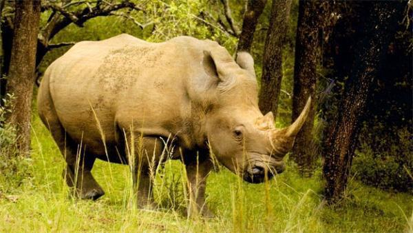 By the time white rhino conservation started in Hluhluwe-Imfolozi, fewer than 100 of the animals remained
