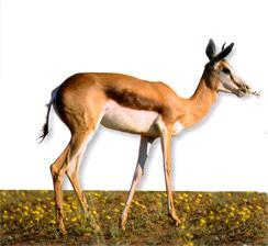 Hardy, desert-adapted springbok can go for years without drinking water.
