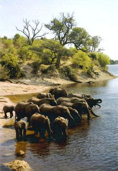 The huge elephant population devastates riverine vegetation.