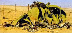 The welwitschia is considered a living fossil and generally grows for 1000 years or more.