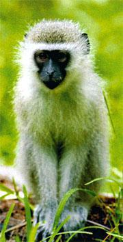 Vervet monkeys are fun to watch, but keep your doors shut and food locked away or cute will turn to crazy maker