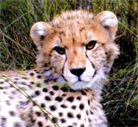 Cheetahs have been introduced to keep the antelope population in check and provide exciting sightings.