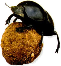 dung beetle - Addo
