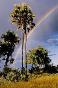 Palm tree and rainbow Okavango