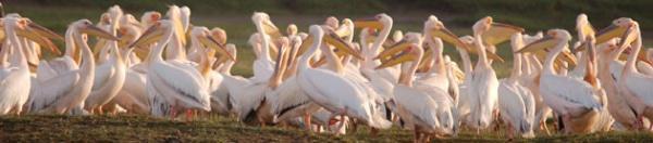 Pelicans at Ndumo