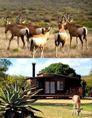 A herd of red hartebees. A young bontebok grazes around the chalets.