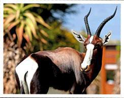 There are now about 200 bontebok roaming the park.