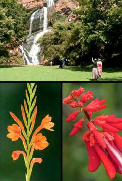 The famous waterfall where the Verreauxs' eagle's nest is built within the Walter Sisulu National Botanical Garden. The flowers of a gladiolus growing in the Botanical Gardens. The bright red flowers of the erythrina attract a constant flow of visiting birds.