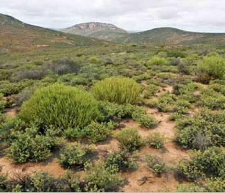 * the hilly uplands of Namaqualand host a large variety of plant species.