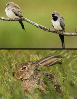 * the contrasting plumages of the male and female namaqua dove. * a scrub hare rests in the long grass.
