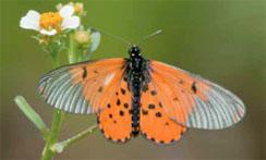 A delicate Acraea butterfly perches on small flowers for nectar.