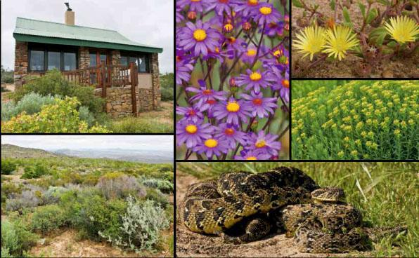 * the camp at the namaqualand national park is situated on the top of a hill offering fantastic views.* the Senecio elegans flower forms huge carpets of colour.* Yellow vygies sprung up despite the low rainfall.* the flower of the gif plant attracts numerous insects.* a view over the Namaqualand national park from camp.* puff adders mating.