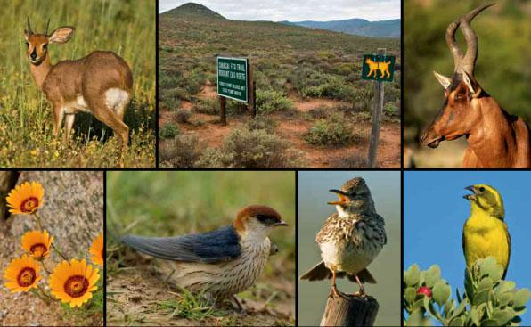 * a steenbok ram feeds at dawn.* the caracal eco-trail is well worth the effort of booking.* a handsome red hartebeest.* Beautiful pale-orange gazanias on display.* a Greater striped swallow collecting mud for its nest.* Large-billed Larks were plentiful.* a Yellow canary in full song.