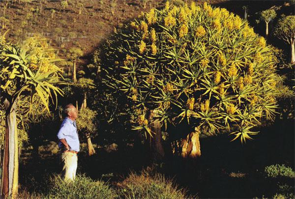 Hendrik van Zijl in the forest of quiver trees (Aloe dichotoma), also known as kokerbome, outside Nieuwoudtville.