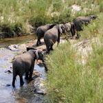 Elephants enjoying the pleasures of the Olifants River near Balule Rest Camp in the Kruger National Park