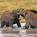 Elephants playing in the river near Berg-en-Dal rest camp in the Kruger National Park