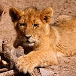 A lion cub enjoying the freedom of the Ligwalagwala conservancy