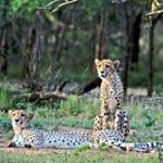 Cheetah frequent the thornveld plains around the Orpen Complex in the Kruger National Park