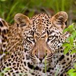 A leopard at Londolozi, Sabi Sands Game Reserve