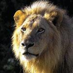 The plains surrounding Satara Rest Camp in the Kruger National Park are popular for spotting lions